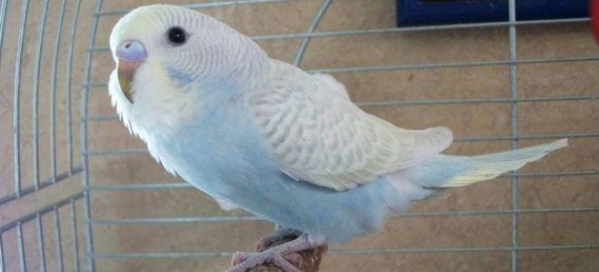 Первые дни волнистого попугая в доме или адаптация птички к вашему дому