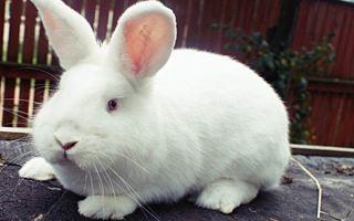 Кролики новозеландской породы: два в одном