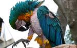 Почему попугай выщипывает перья и что с этим делать