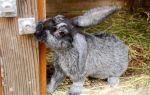 Кролики породы шиншилла: описание, уход, содержание и разведения