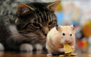 Хомяк и кот в одной квартире