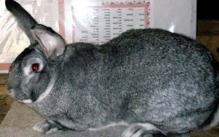 Порода кроликов Серый Великан: содержание и уход в домашних условиях