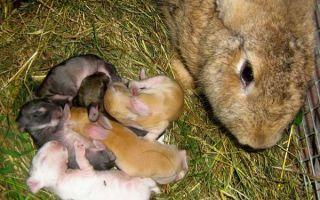 Чем кормить кормящих крольчих после окрола