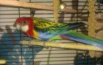 Какого попугая лучше всего завести в квартире и доме