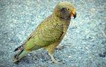 Попугай Кеа: как выглядит, чем питается, образ жизни