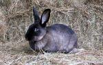Кролики породы Мардер Советский и Большой