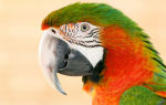 Клюв у волнистого попугая: все что нужно знать