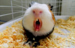 Почему морская свинка кусается и что нужно знать об укусах