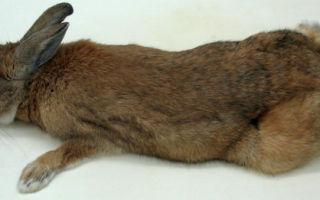 Что делать если у кролика отказали задние или передние лапы: как правильно решить проблему