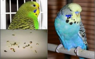 Как опеределить запор у попугая и помочь ему
