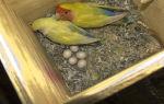 Особенности разведения попугаев корелл в домашних условиях