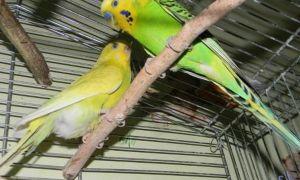 Как узнать что самка волнистого попугая беременна