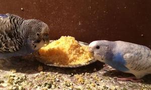 Можно ли давать попугаям хлеб: какой и сколько