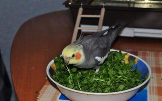 Можно ли попугаю петрушку и укроп: сколько и почему
