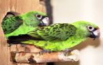 Конголезский попугай: уход и содержание