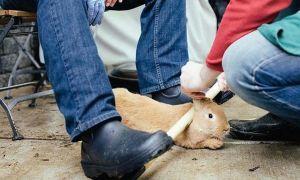 Как правильно и безболезненно забить кролика