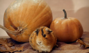Можно ли морским свинкам тыкву и почему