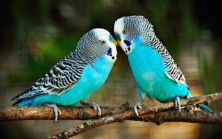 Сколько живут волнистые попугаи и как продлить срок жизни