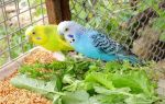 Преимущества и недостатки попугаев в домашних условиях