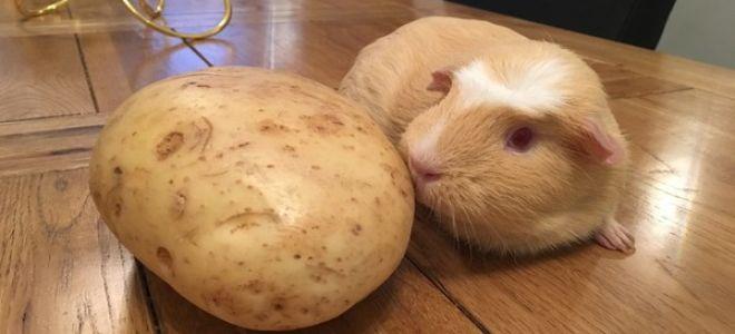 Можно ли морской свинке давать картофель