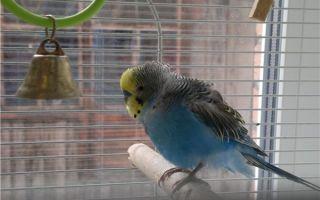 Почему попугай дрожит и трясется