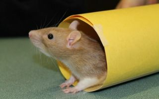 Дрессировка домашней крысы: чему можно научить питомца и с чего начать