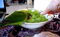 Можно ли давать попугаю виноград, сколько и почему