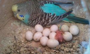 Сколько дней высиживают яйца волнистые попугаи и что делать если появилось яйцо