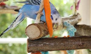 Можно ли давать попугаю морковь и как часто