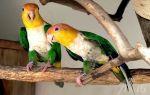 Белобрюхий попугай: плюсы и минусы, уход и содержание