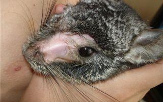 Линяют ли шиншиллы и почему: причины выпадения шерсти и облысения домашнего зверька
