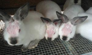 Причины выпадения шерсти у кроликов и методы решения проблемы облысение