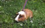 Как выгуливать морскую свинку на улице