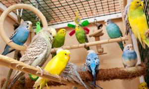 Какая температура в комнате нужна волнистому попугаю