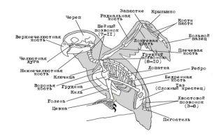 Анатомия и скелет волнистых попугаев