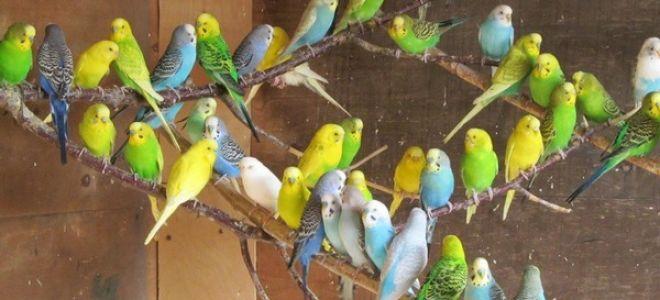 Разведение волнистых попугаев в домашних условиях