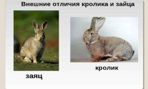Чем отличается кролик от зайца: сходство и разница