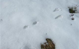 Как выглядят следы крысы на снегу