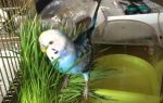 Можно ли попугаям давать траву и зелень, сколько и почему