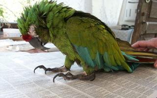 Что делать, если у попугая понос и как ему помочь