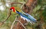 Попугай Розелла: уход и содержание в домашних условиях