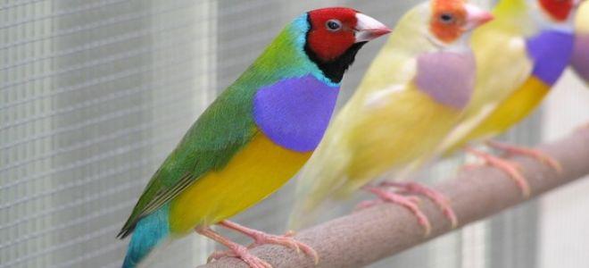 Попугай амадин: описание и содержание в домашних условиях