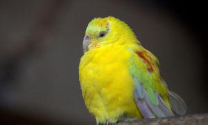 Желтый попугайчик Лютино: все что нужно знать