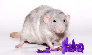 Декоративная крыса Дамбо Рекс – особенности породы