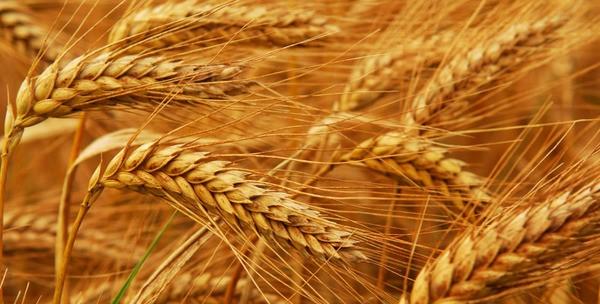 Так выглядит пшеница в поле