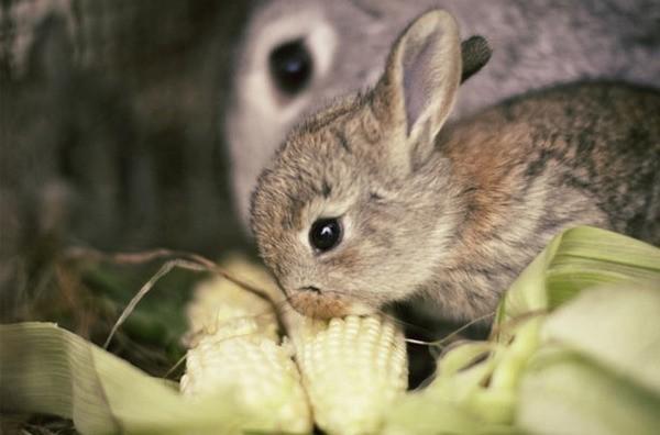 Крольчонок кушает кукурузу