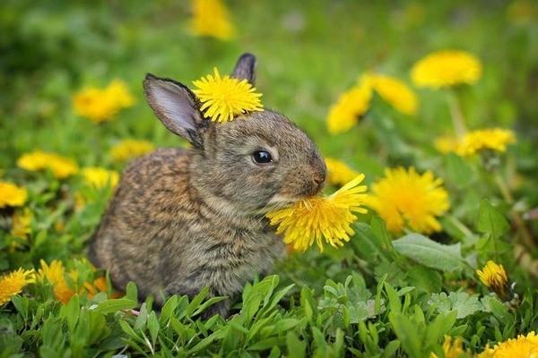 Крольчонок кушает одуванчик