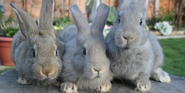 Вареная гречка очень полезна для кроликов