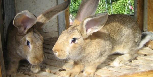 Взрослые кролики после завтрака