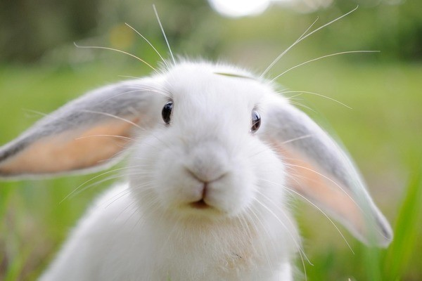 Здоровый кролик альбинос